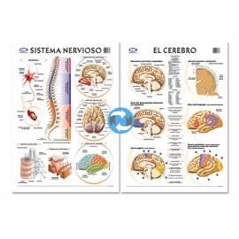 Lam.sist.nervioso/cerebro Con Varilla 50x70 Cm.
