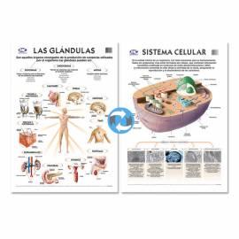 Lam.sist.celular/glandula Con Varilla 50x70 Cm.