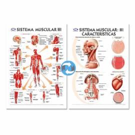 Lam.sist.muscular/caract. Con Varilla 72x102 Cm.