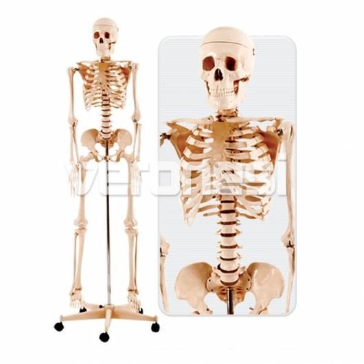 Esqueleto Humano 160 Cm. - Veronesi