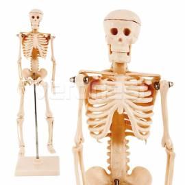Esqueleto Humano 42 Cm.